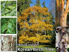 Korean Birch Tree ~ 35+ Seeds ~ (Betula costata) ~ Free Shipping ~ US Seller
