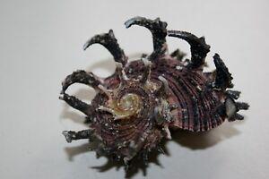 LARGE Imperial Delphinula seashell