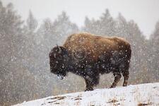 WILDLIFE ART PRINT - Bison in Snow by Jason Savage Nature Photo Poster 18x26