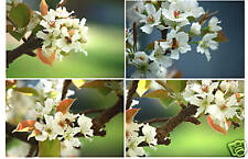 Beautiful Japanese Pear Blossoms (Set of 4) 11X14 Mats