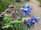Borage Seeds, Starflower, Tailwort, NON-GMO, Variety of Sizes, FREE SHIPPING