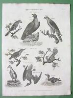BIRDS Goshawk Osprey Wryneck Grebe Razorbill - 1882 Original Engraving Print