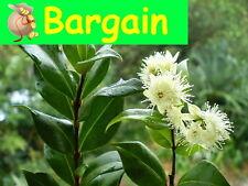 CINNAMON MYRTLE,Backhousia myrtifolia,Fruit Tree,Jam,Spice,Herb,Bush Tucker,Pot