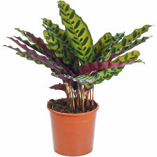 Calathea Rattlesnake Plant Indoor Potted Plant for Home or Office
