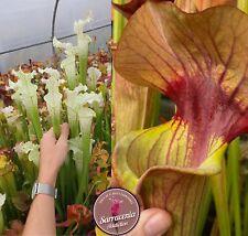 55) Pack of Sarracenia seeds 2020/2021, carnivorous plants rare
