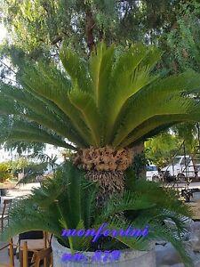 Palme Cycas revoluta (Palmfarn 3 Samen Kübelpflanze top Preis 2,99 €uro  3 Stück