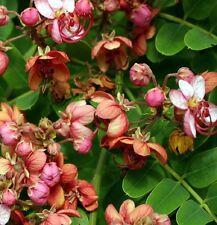 Cassia Marginata - Red Shower Tree - Rare Tropical Plant Tree Seeds (10)