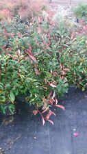 PIANTA DI PHOTINIA RED ROBIN vaso 18 cm altezza 60 cm rossa (foto reale)
