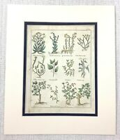 1810 Antico Botanico Stampa Salsapariglia Sena Sycamore Erbe Mano Colorato