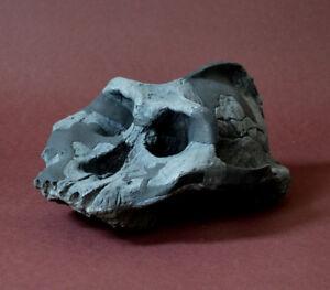 Australopithecus Aethiopicus Skull Replica