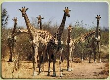 Tall Group of Giraffes Full Deck Playing Cards New & Original 52+2 Jokers L@K