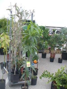 Mangobaum, Mangopflanze, junger Baum ca. 130-150 cm veredelt