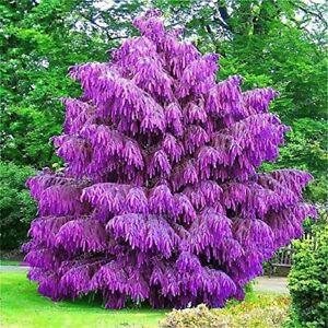 Purple Pinus Seeds Tree Pine Garden Perennial UK STOCK