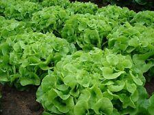 1000 GREEN OAKLEAF LETTUCE SEEDS 2019 (all non-gmo heirloom vegetable seeds!)