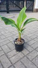 Musella Lasiocarpa, Lotus Banane, 60 cm