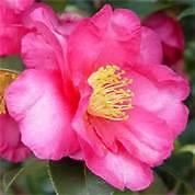 "Bob Wines Camellia Gardens 18-30"" Camellia Sasanqua Kanjiro FREE Shipping!"