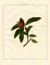 Antique Print-MEDLAR-FRUIT-Pomologia-Knoop-1758