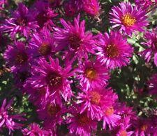 Aster 'Alert' Fall Magenta Flower Perennial Michaelmis Daisy Aster novi-belgii