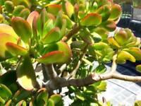 "Crassula Ovata, Jade Plant ( 4"" Pot )"