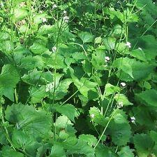 Wildflower Seeds-Garlic Mustard - 100 Semi