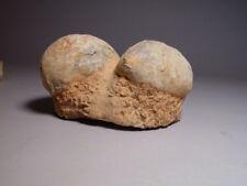 Hadrosaur Dinosaur 2 Egg fossil Nest Rare