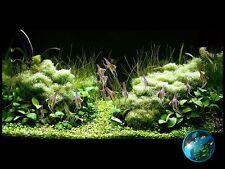 Anubias nana # Live aquarium plant fish tank WS