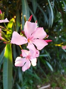 Nerium oleander rose,plant