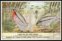Nesting Fish Pearl Gourami c60 Y/O Vintage Trade Ad Card