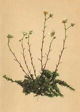 Alpenflora Alpine Flores: Pimpinela Aspera L-gewimpertblättriger steinbrech; 1897