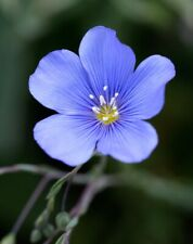 Tall Blue Flax 100 Seeds fresh organic