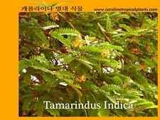 Tamarind Tree Seeds - Tamarindus Indica - 5 Seed Count