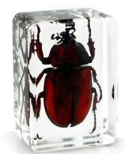 Real Japanese Rhinocerous Beetle Insect Paperweight Specimen Taxidermy