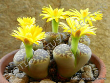 RARE LITHOPS DOROTHEAE, exotic living stone bonsaisucculent plant seed -15 SEEDS