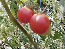 "*Sale* Organic Pink Princess Cherry Tomato 30 Fresh Seeds Sweetest ""Fresh 2018"""