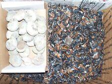 200 fossil shark teeth and 1 silver rainbow fossil ammonite per lot