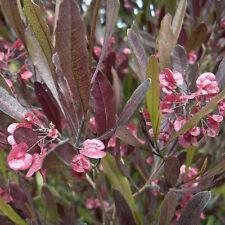 PURPUREA DODONAEA viscosa native coppery-purple hedging plant in 140mm pot