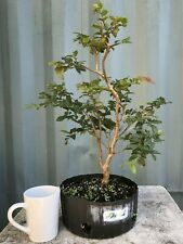 Jaboticaba Pre-Bonsai Tree by The Bonsai Supply