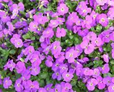 6 Trailing Aubretia Purple perennial aubrieta Plug Plants