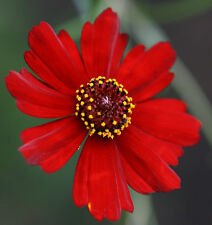 FLOWER SEEDS~COREOPSIS~RED~3795 SEEDS