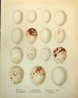 Antique Old Print Eggs Barn Tawny Long-Eared Owl Montagu'S Harrier C1896-98