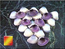 "Set of 40 Purple Baby Clam Shells Seashells (1/2-3/4"") Sea Shell Crafts Beach"