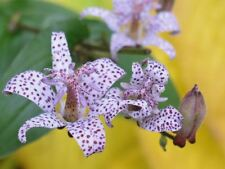 Tricyrtis hirta - Toad Lily, Plant in 9cm Pot