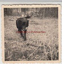 (F11972) Orig. Foto Hund, Hündin Dina, Halberstadt 1955