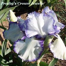 "1 ""Presby'S Crown Jewel"" Gorgeous Tall Bearded Iris"