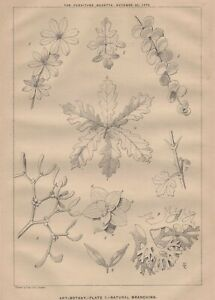 1876 Print 'ART-BOTANY -PLATE 1 - NATURAL BRANCHING' Litho by Wyman & Sons.