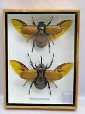 EUPATORUS GRACILICORNIS M & F - Echtes exotisches Insekt   im Schaukasten Holz