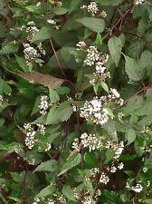 50 Chocolate Joe Pye Weed Eupatorium Flower Seeds + Free Gift