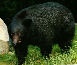 Vintage Postcard - Native Black Bear Great Smokey Mountains National Park #7027