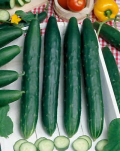 Vegetable - Cucumber - Burpless Tasty Green F1 - 15 Seeds - First Class Postage