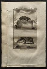 1799 - Buffon - Le tendrac et son petit - Gravure zoologie